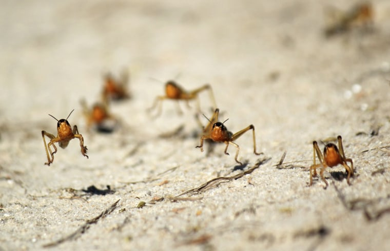Image: Locusts are seen in the Menabe region of western Madagascar