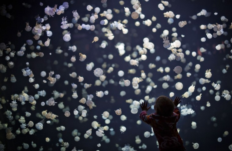 Image: A child watches jellyfish swim in a large tank at the Vancouver Aquarium in Vancouver