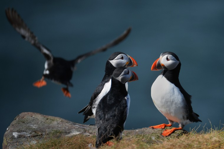 Image: Farne Island Rangers Carry Out 'Puffin Census'