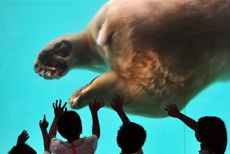 Image: Singapore Welcomes Polar Bear 'Inuka'