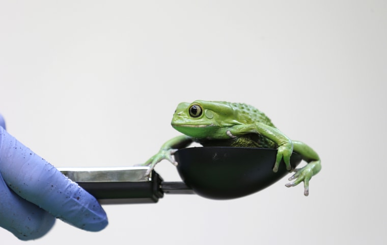 Image: A waxy monkey tree frog is weighed in a measuring device during a photocall to publicize the annual measuring of all the animals at the London Zoo, in central London