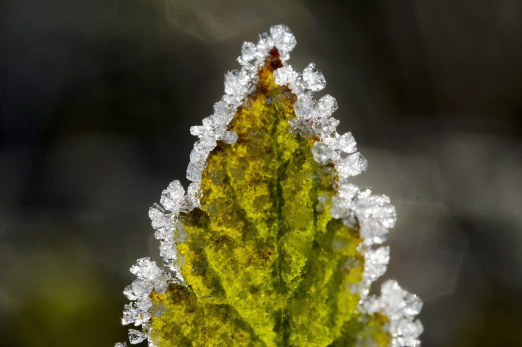 Image: Hoarfrost on the leaves of a plant