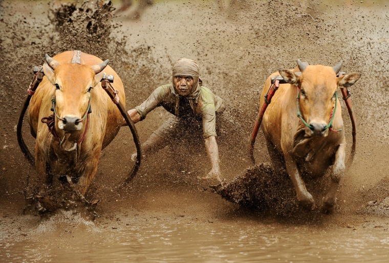 Image: Indonesian's Take Part In Traditional Cow Race