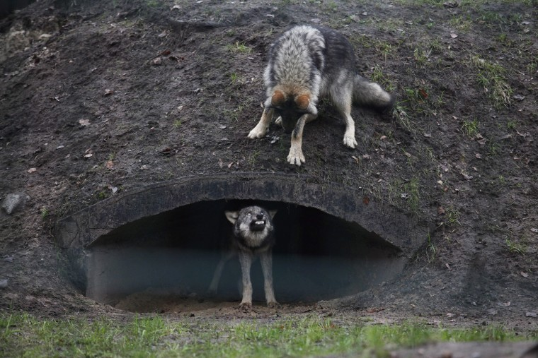 Image: Young wolves in Mini Zoo