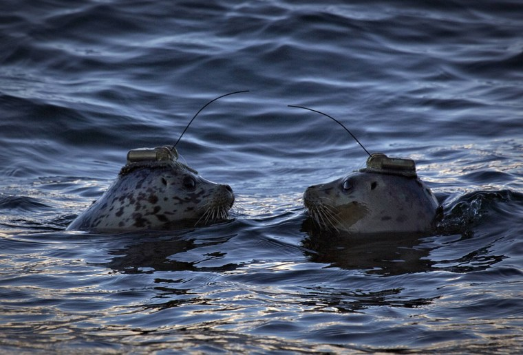 Image: A pair of harbour seals wearing satellite linked transmitters face each after being released into the waters of Howe Sound in Porteau Cove