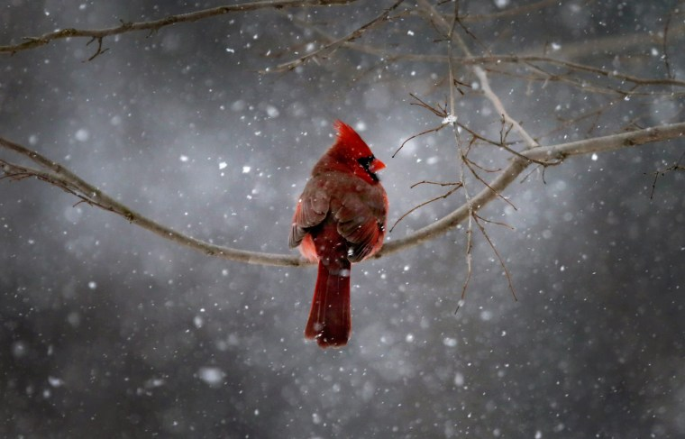 Image: A Northern Cardinal sits on a tree branch in falling snow in the New York City suburb of Nyack