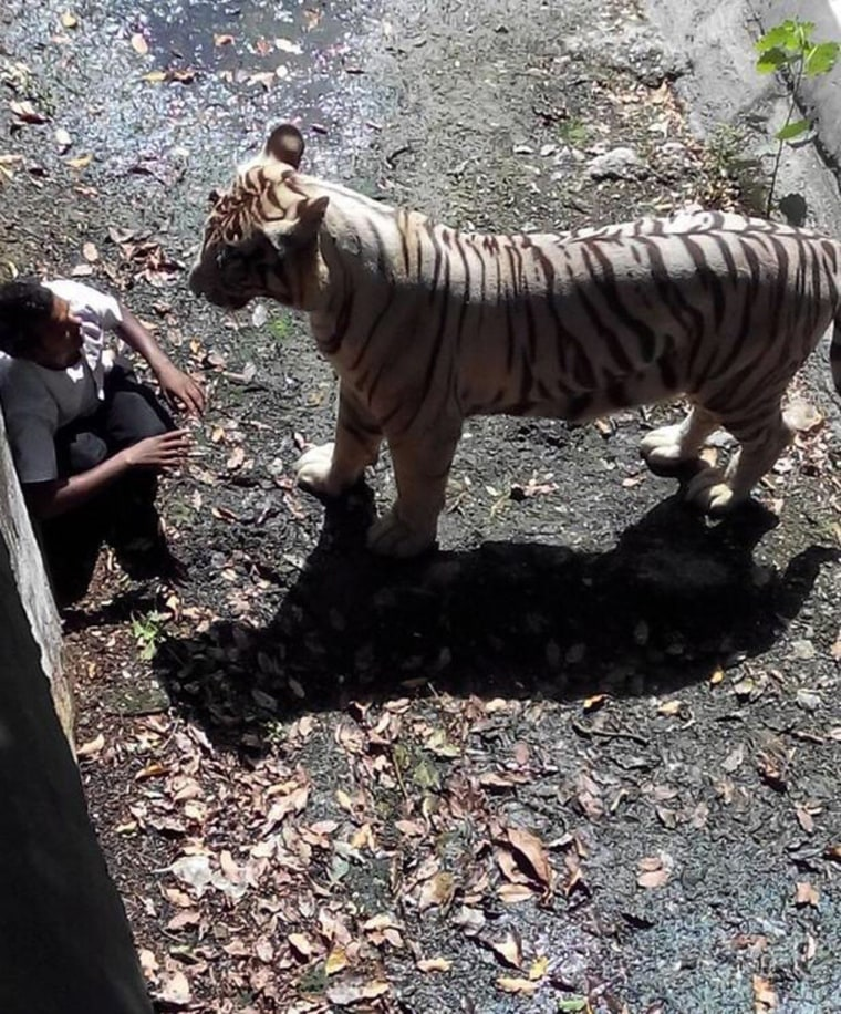 Image: An Indian schoolboy is confronted by a white tiger inside its enclosure at the Delhi Zoo