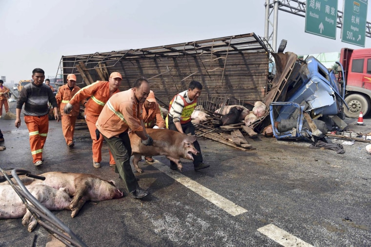 Image: Rescuers grab a pig from an overturned truck to transfer it onto another after a traffic accident occurred on an expressway in Jiaxing