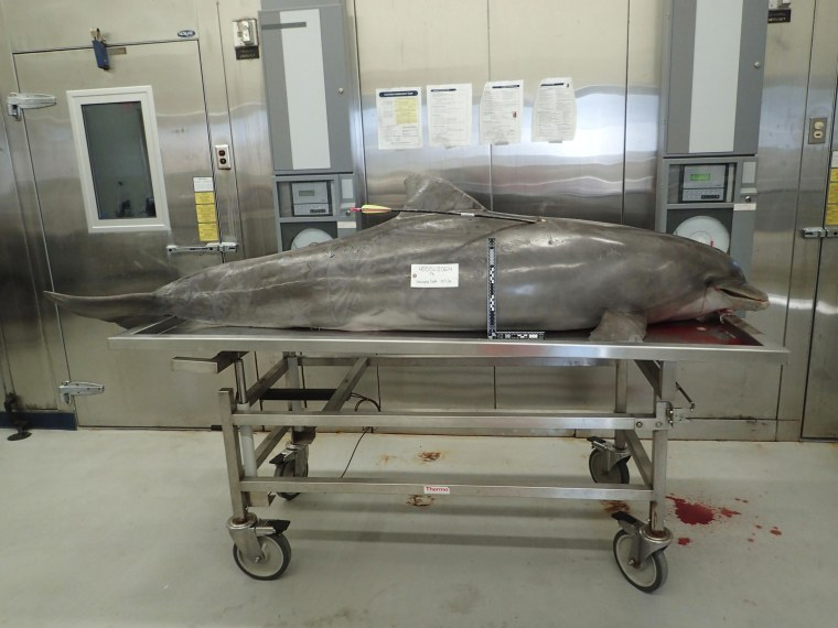 Image: National Oceanic and Atmospheric Administration (NOAA) photo of a dolphin killed with a hunting arrow in Orange Beach Alabama