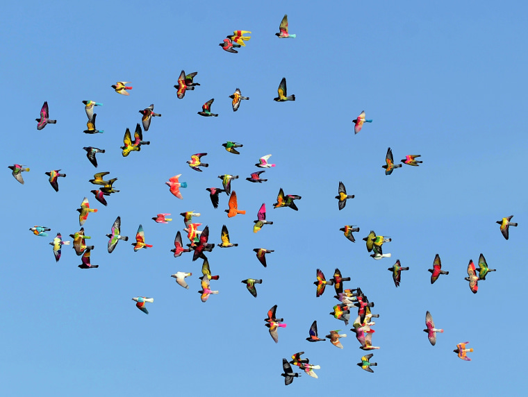 Image: TOPSHOTS-SPAIN-PIGEON BREEDING-COMPETITION