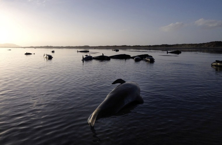 Image: Dozens of pilot whales lie beached at Farewell Spit on the northern tip of New Zealand's South Island