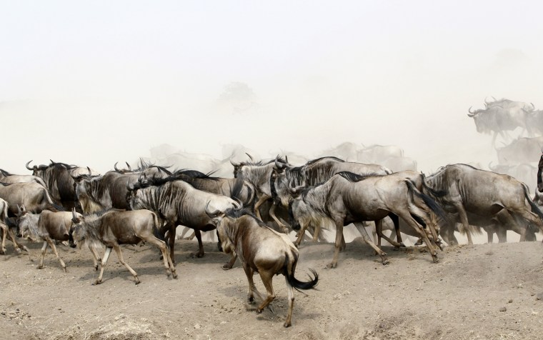 Image: Wildebeests run after crossing the Mara river during a migration in the Masaai Mara game reserve Kenya