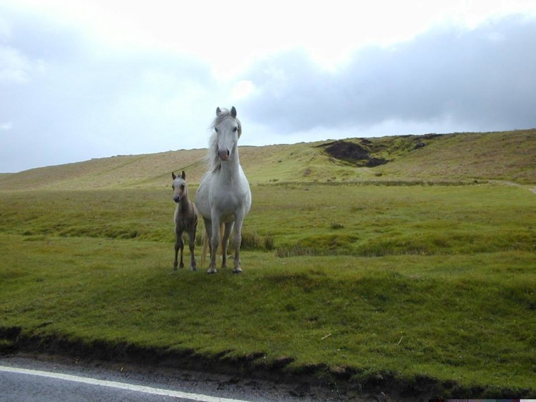 Wild Horses on the Gower Pennisula in Wales UK,