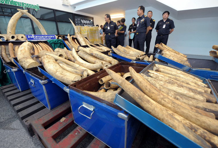 Thai custom officials on Aug. 21 display elephant tusks confiscated at Bangkok airport. The 1,700 pounds of tusks, worth more than $500,000, were found on a flight that had arrived from Kenya and Uganda.