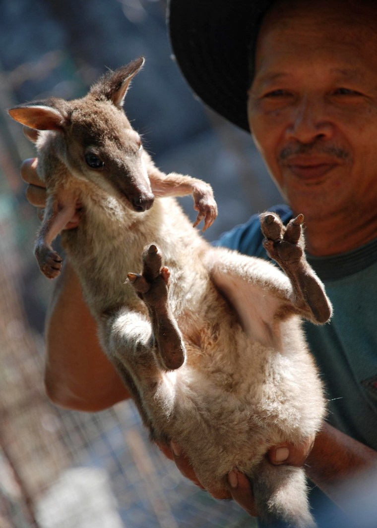 An Indonesian conservation officer shows one of 10 kangaroos rescued.