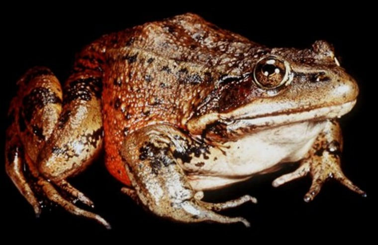 """The red-legged frog is believed to have inspired Mark Twain's tale, """"The Celebrated Jumping Frog of Calaveras County."""""""