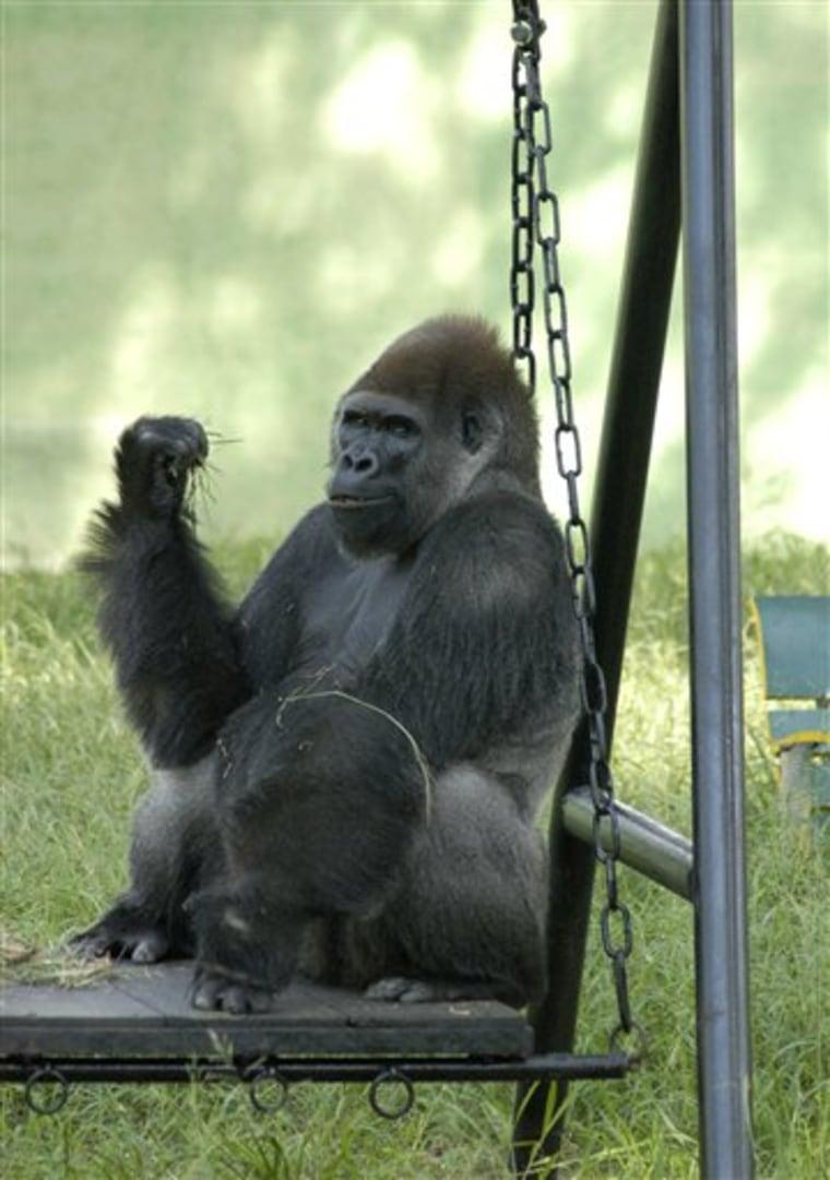 India Lonely Gorilla