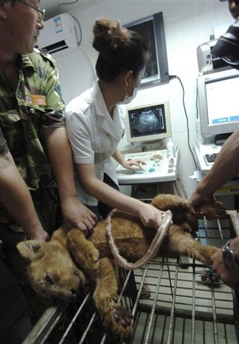 China Tainted Milk Animals