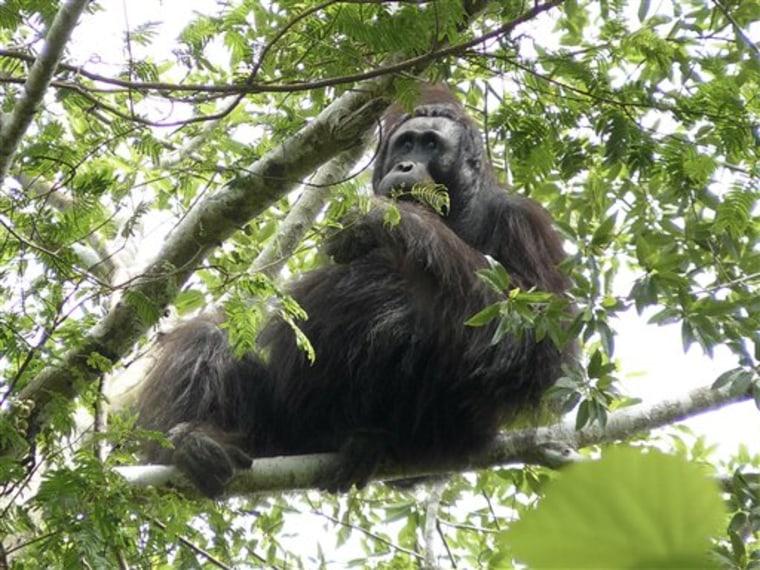 Indonesia New Orangutans