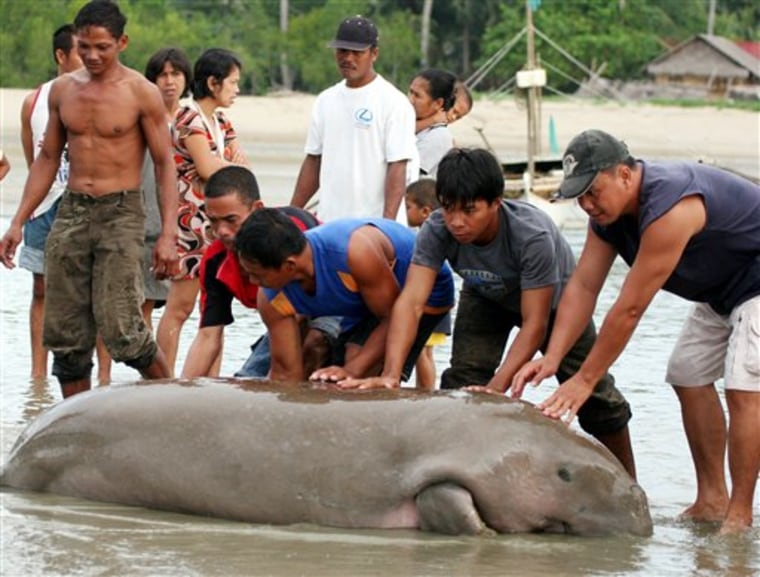 Philippines Endangered Sea Cow