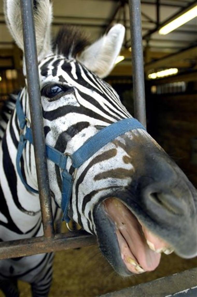 Zebra Visits