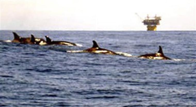 Killer Whales Gulf