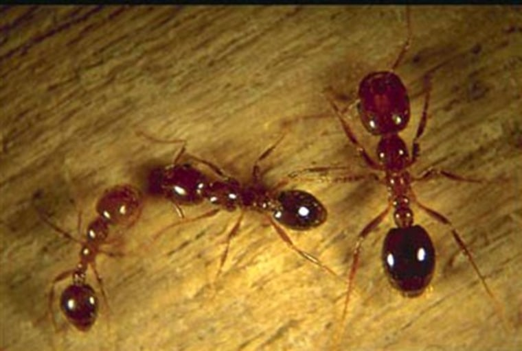 Fire Ants Virus