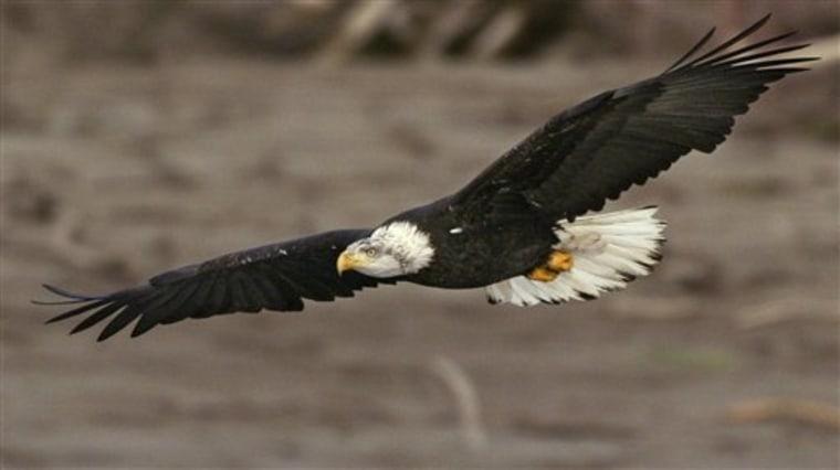 Eagle's Comeback
