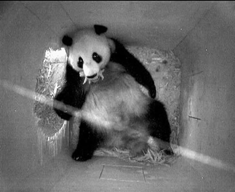 Austria Panda Baby