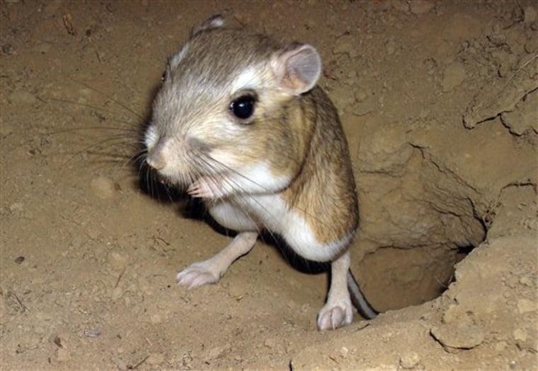 Farm Scene Kangaroo Rats