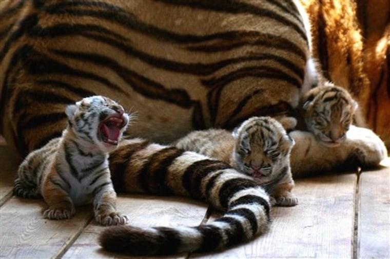 CHINA RARE TIGERS