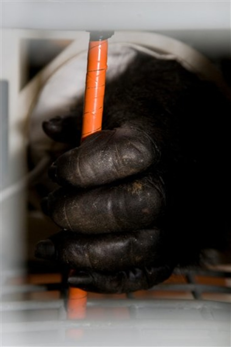 A western lowland gorilla named Ozzie voluntarily has his blood pressure taken by the Gorilla Tough Cuff.