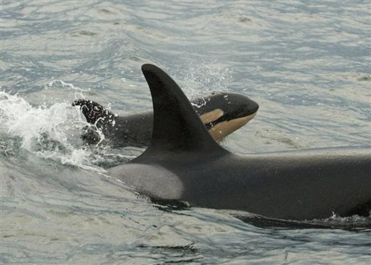 Orca Rebound