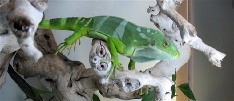 Iguana Smuggling Charges