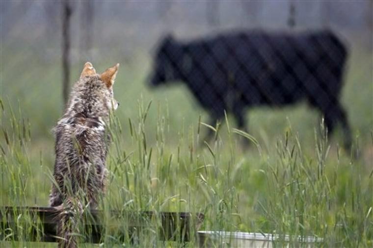 Experimental Coyotes