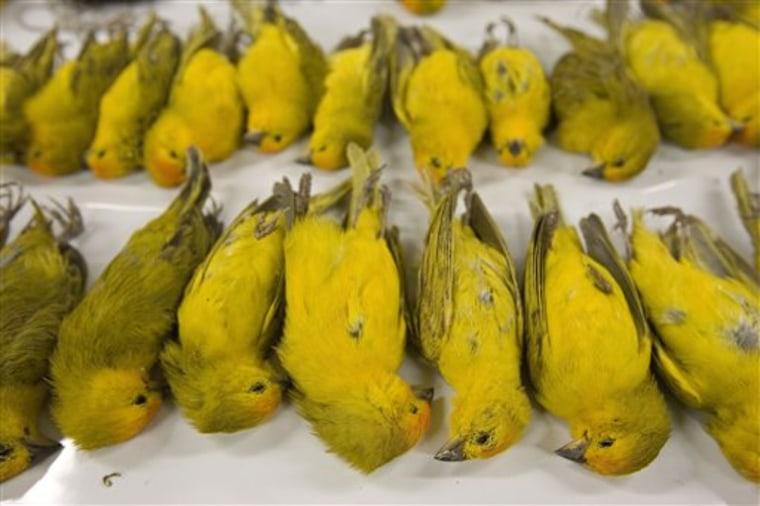 Brazil Smuggled Birds