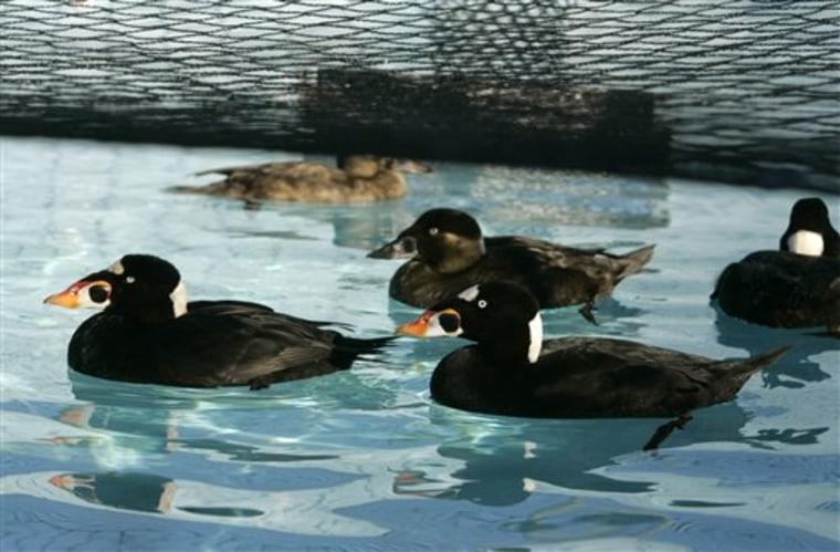 Bay Spill Oiled Ducks