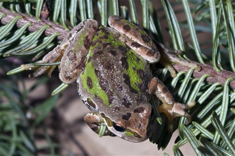 Holiday Frogs