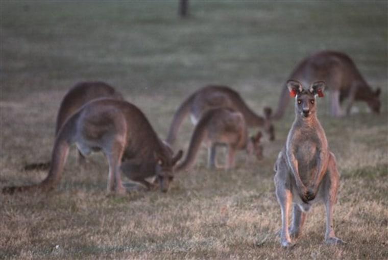 Australia Shooting Kangaroos