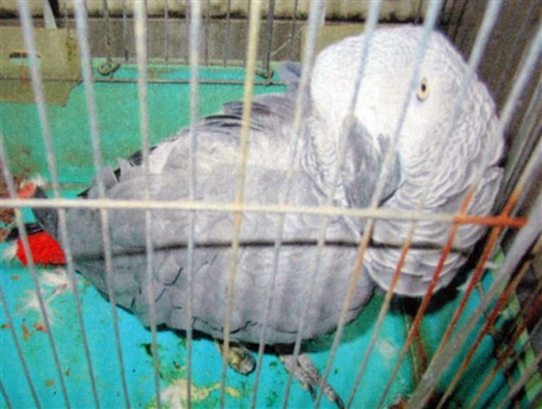 Japan Parrot Returns
