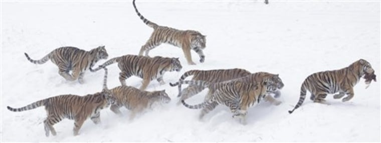The deaths reflected the mixed results as China attempts to save its dwindling number of tigers.