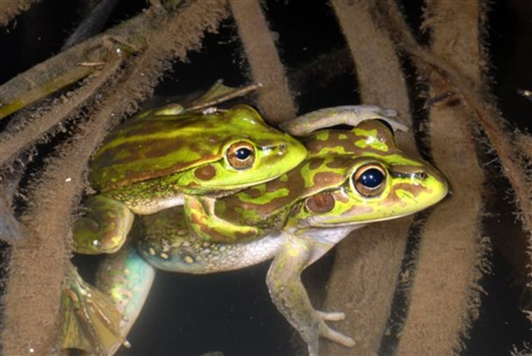 A pair of Yellow-spotted Bell Frogs in the Southern Tablelands of New South Wales state of Australia. The species of frog thought to have been extinct for 30 years has been discovered in Australian farmland.