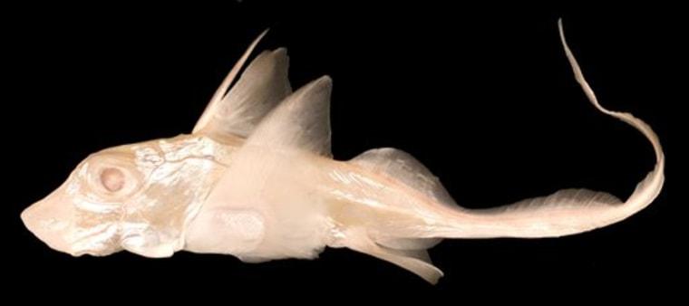 Albino Ratfish