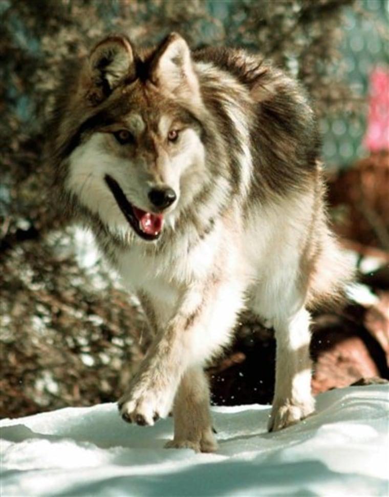 Endangered Wolf