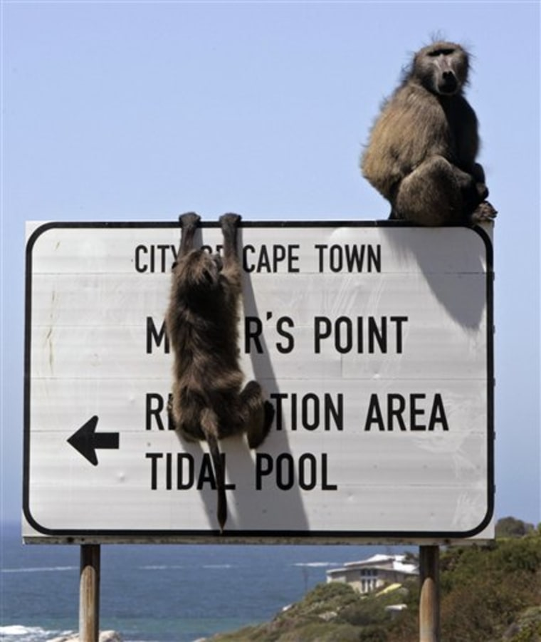 SOUTH AFRICA BABOONS