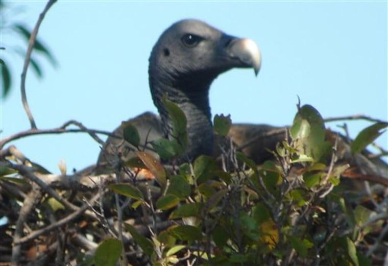 Cambodia Vultures
