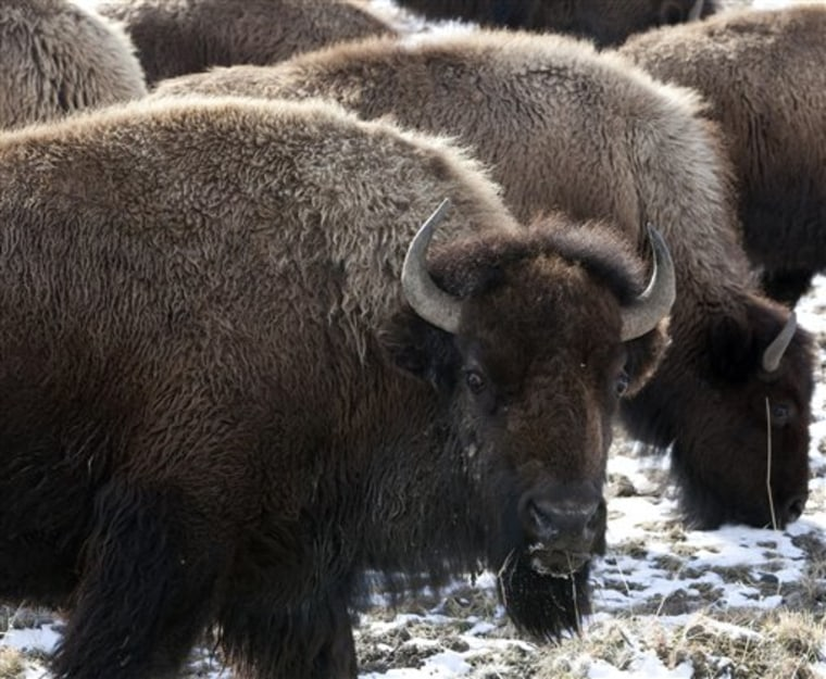 Bison roam outside the gate of Yellowstone National Park in Gardiner, Mont., in this file photo. A government shutdown will businesses that rely on tourist traffic from Yellowstone.