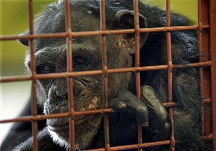 Chimpanzee Attack Sanctuaries