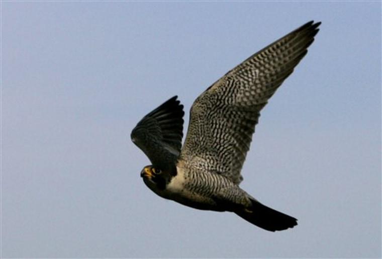 Falcon Rescue