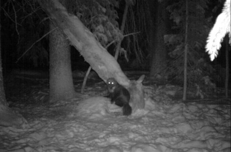 Wolverine in Colorado